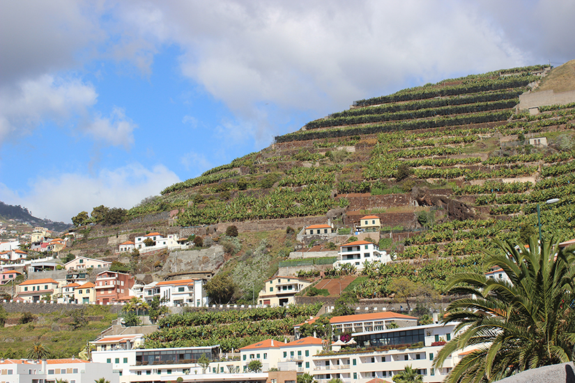 les plantations de bananes a  Madere